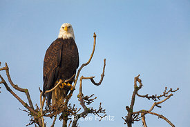 Bald Eagle Perched along Dike Trail at Boundary Bay