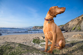 Hungarian Vizla in Profile Looking Up and to Side on beach under blue skies