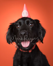 Smiling Black Dachshund Mix Head Tilt with Birthday Hat