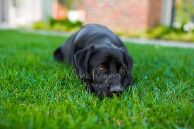 Black dog lying on grass looking directly at camera with brown eyes