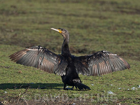 Greater Cormorant Phalacrocorax carbo adult drying wings Holme Norfolk October