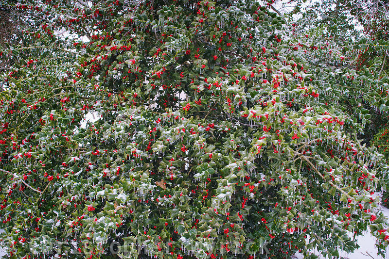 Beautiful shot of a frozen holly tree with little birds nestled in its branches.  Makes for a beautiful large print.