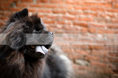 shaggy black chow dog panting at brick wall in urban setting