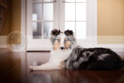 handsome merle sheltie posing on hardwood floor at home indoors