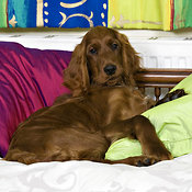 Young Irish setter