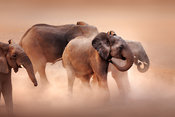 Elephants in desert dust