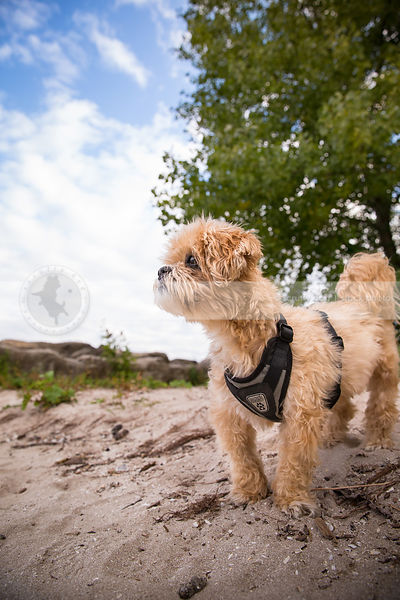 small groomed dog with harness standing on sand under sky