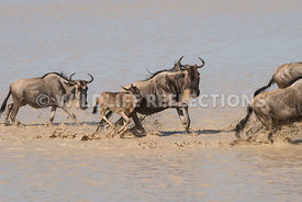 wildebeest_lake_crossing_sequence_02242015-93