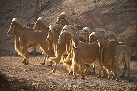 Barbary Sheep found on the wildlife reserve near the Desert Islands Resort and Spa on Sir Bani Yas Island.
