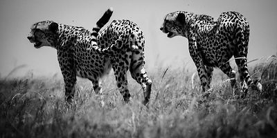 Two cheetah brothers, Maasai Mara, Kenya 2006 © Laurent Baheux