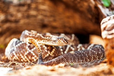 Venomous South American Rattlesnake By Rock
