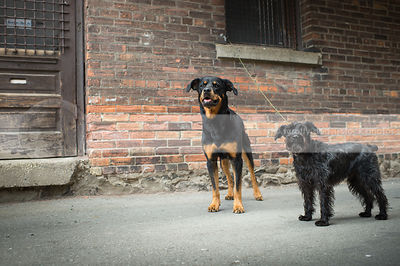 two dogs standing together near wood door at urban brick wall