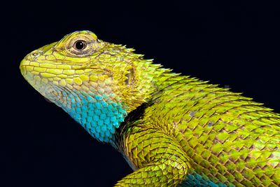 Emerald spiny lizard  (Sceloporus malachiticus) photos