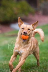 Red dog with big ears running with an orange ball