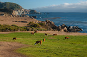 Cattle grazing on the coast of California