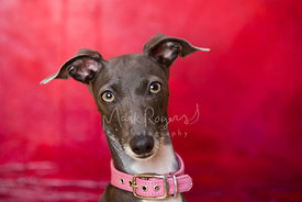 Italian Greyhound Studio Close-up on Red