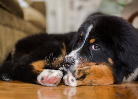 Bernese Mountain Dog Puppy Curled up on Floor