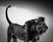 6993-Lion_before_the_storm_Kenya_2013_Laurent_Baheux