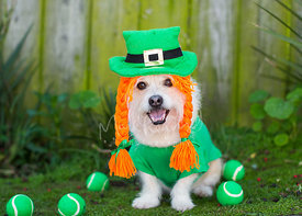 Terrier dressed in a leprechaun costume for St Paddys Day