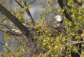 April - Bald Eagle with young
