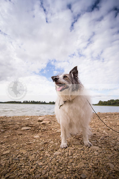 mixed breed terrier dog standing on lake shore with sky and clouds