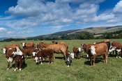 Hereford cattle out in upland pastures of Cumbria, near the Howgill fells, UK.