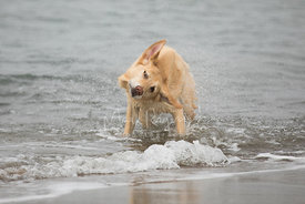Yellow Lab Shaking Dry in Surf