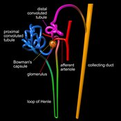 Human nephron labelled #2