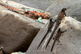 Numerous marine iguanas make their home in the Galapagos Islands, they are found in all shapes, sizes and colors.