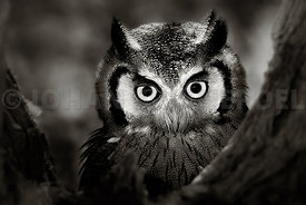 Whitefaced Owl close-up portrait - b&w fine art