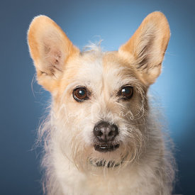 Cute Scruffy Terrier-Corgi mix Close-up Studio Portrait