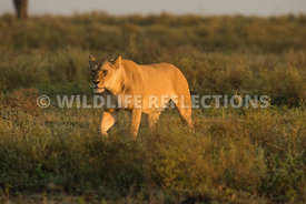 lioness_walking_ndutu_02202015-3-Edit