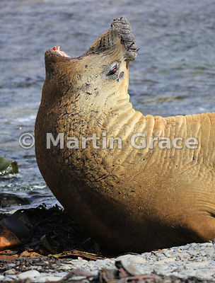 A young male Southern Elephant Seal (Mirounga leonina) displaying aggressively, Sea Lion Island, Falkland Islands