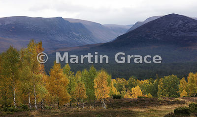 Lairig Ghru from Whitewell, with gold-burnished birches (Betula spp) in autumnal late-afternoon sunshine, Coylumbridge, Scottish Highlands