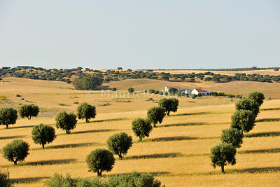 Olive groves and wheat field near Serpa. Alentejo, Portugal