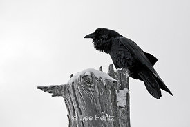 Common Raven (Corvus corax) perched on a dead tree on Hurricane Ridge, Olympic National Park, Olympic Peninsula, Washington, USA, March, 2009_WA_8189