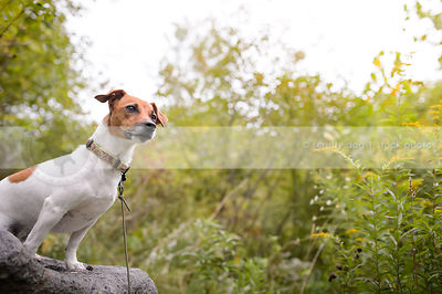 small tan and white dog sitting on a rock in summer