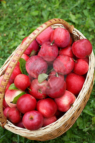 Freshly picked apples in a basket.