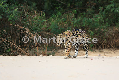 Female Jaguar 'Hunter' walks along the beach, Three Brothers River, Nothern Pantanal, Mato Grosso, Brazil. Image 46 of 62; elapsed time 1h 41mins