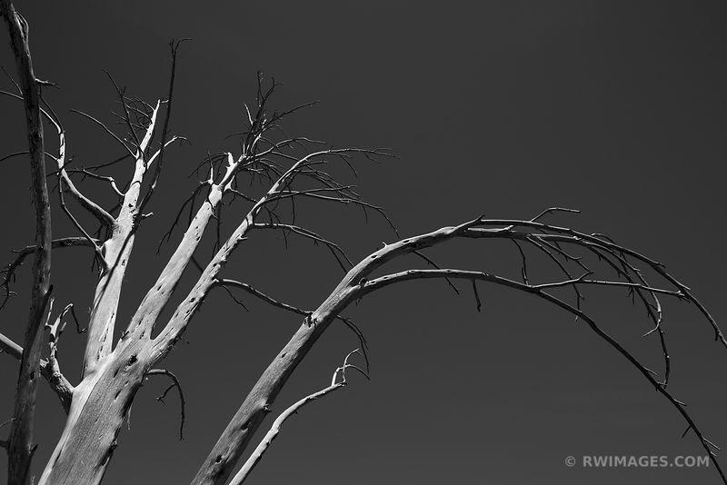 DEAD TREE WETHERHILL MESA MESA VERDE NATIONAL PARK COLORADO BLACK AND WHITE