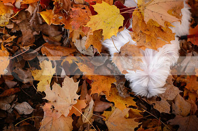 creative overhead stock photo of little white dog head in autumn leaves