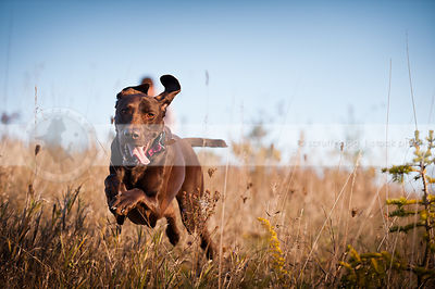 brown shorthaired pointer dog running fast in field with weeds