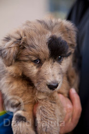 shepherd's dog puppy (Canis lupus familiaris)