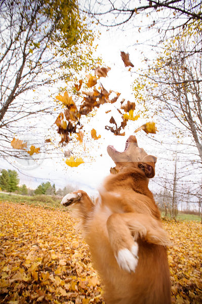 red dog having fun jumping catching autumn leaves in park