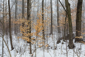 American Beech Leaves Hanging on during a Foggy Winter Day