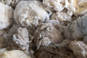 Newly clipped fleeces of wool off swaledale ewes. Yorkshire, UK.