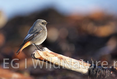 Black redstart/Svartrødstjert - Norway