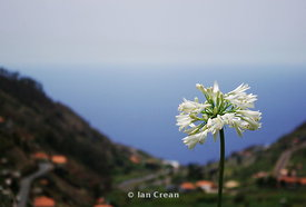 White Flower Madeira