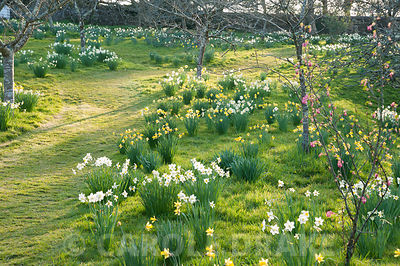 Naturalized daffodils in the orchard. Cotehele, Cornwall, UK