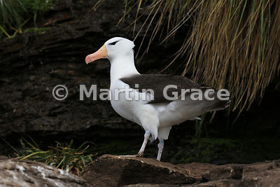 Black-Browed Albatross (Thalassarche melanophrys), The Rookery, Saunders Island